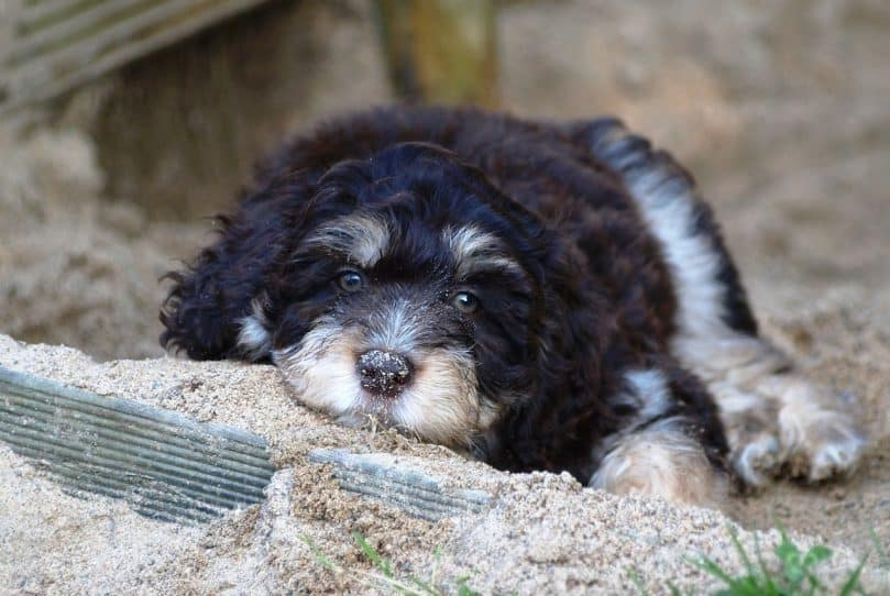 Black and white aussiedoodle puppy laying on the ground