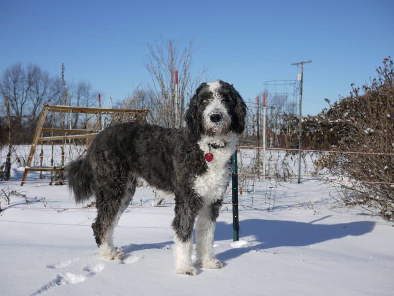 Aussiepoo standing in the snow