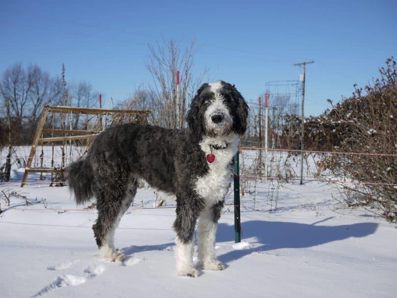 Aussiepoo standing in the snow