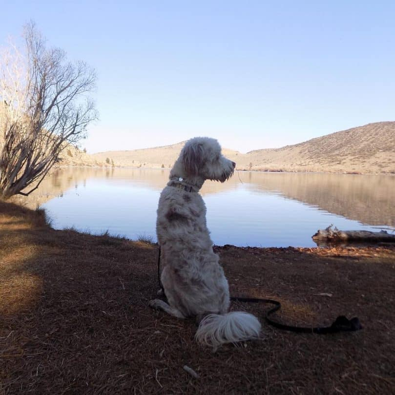 White Australian Shepherd Poodle Mix standing in front of a lake