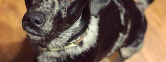 Australian Shepherd Labrador Mix sitting