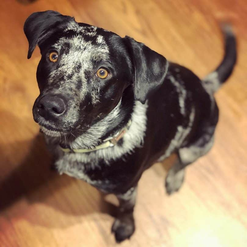 Australian Shepherd Lab Mix sitting