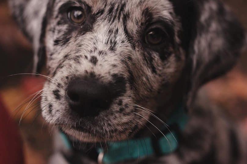 Australian Shepherd Labrador Mix puppy