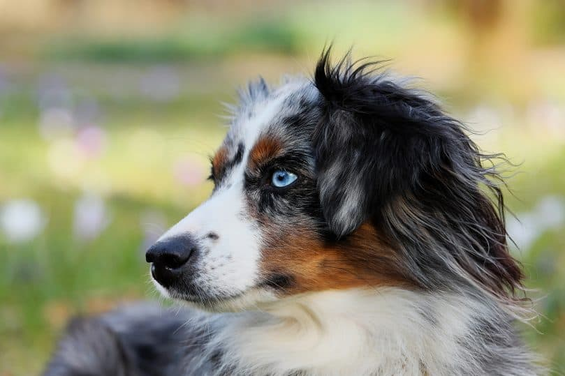 Australian Shepherd close up