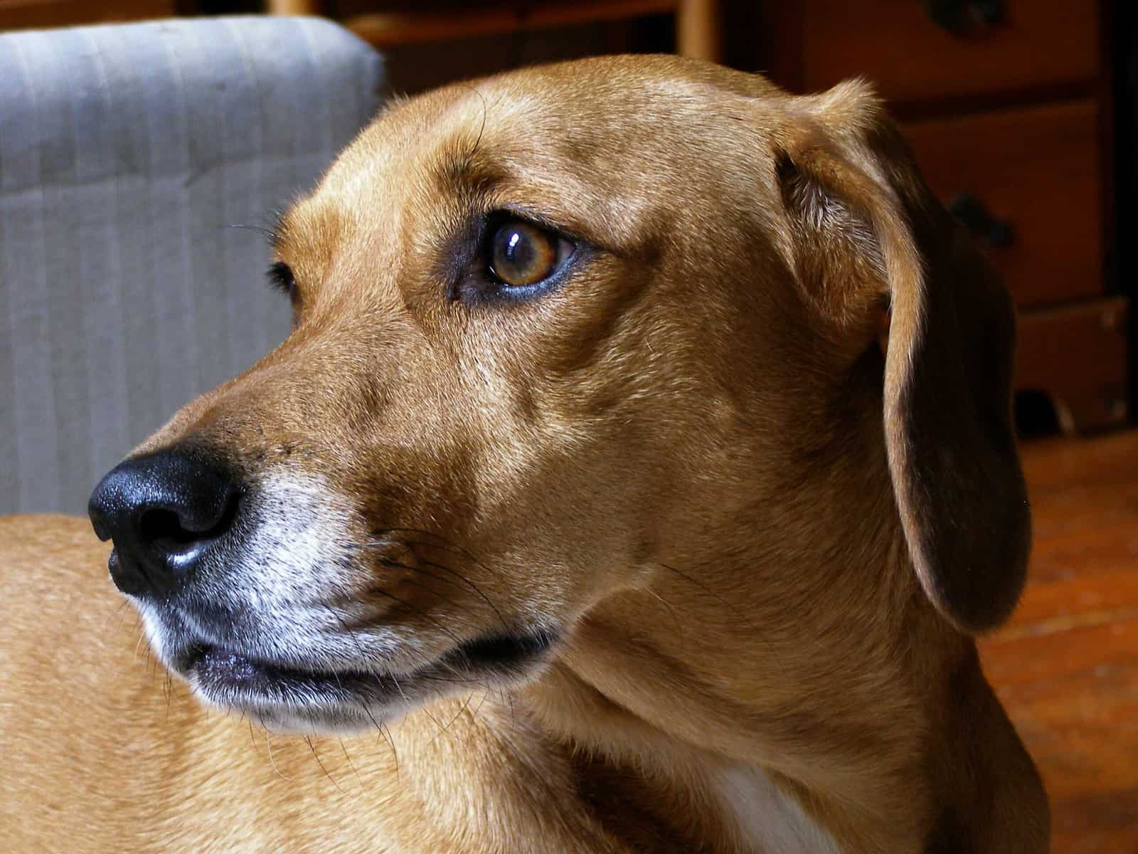 Meet The Dachshund Beagle Mix A Brave And Loyal Dog Animalso