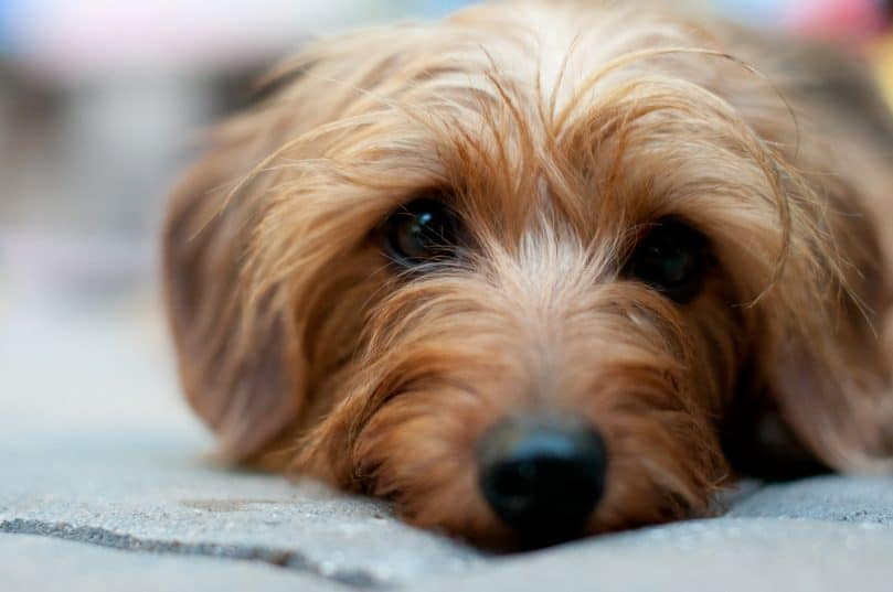Close-up of a Dorkie