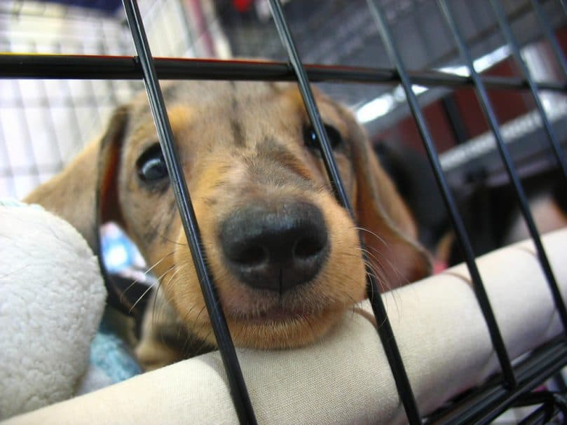 Dorkie puppy poking its nose out of a cage
