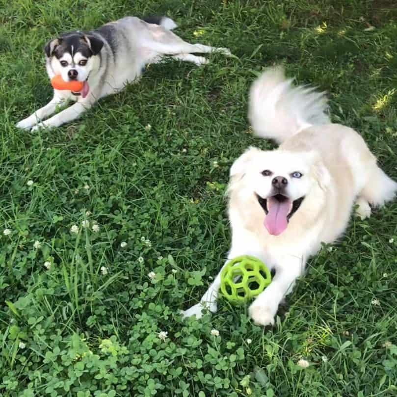 Pug Husky Mix dogs playing in the grass