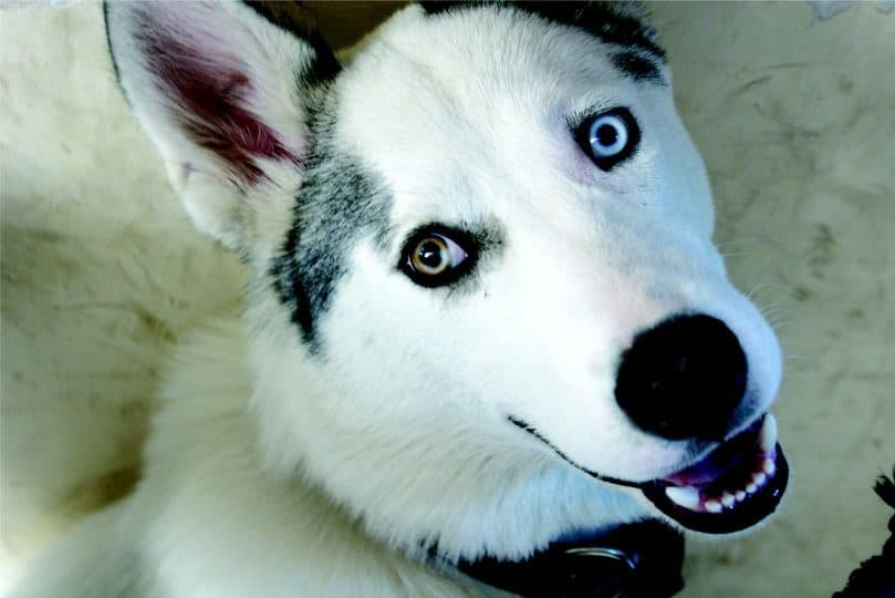 Husky Wolf with different eyes