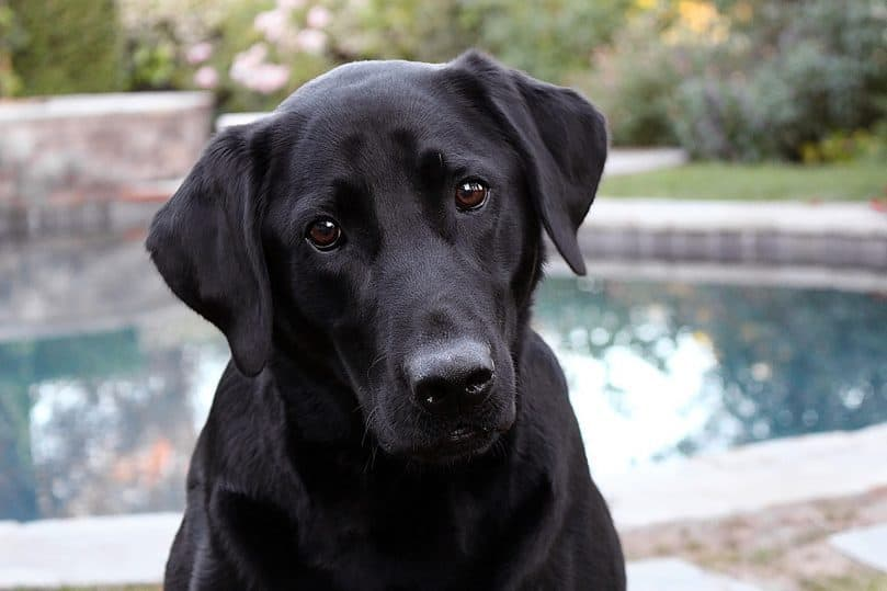 Labrador Retriever close up