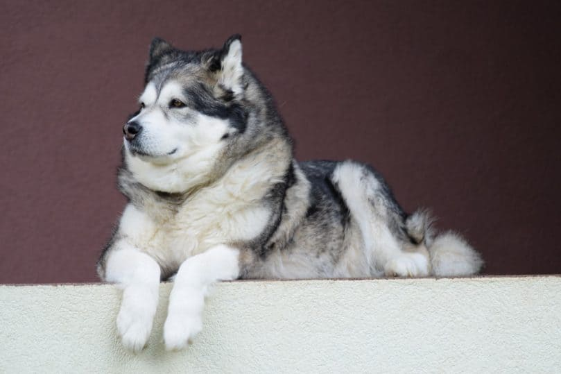 Big Malamute laying down