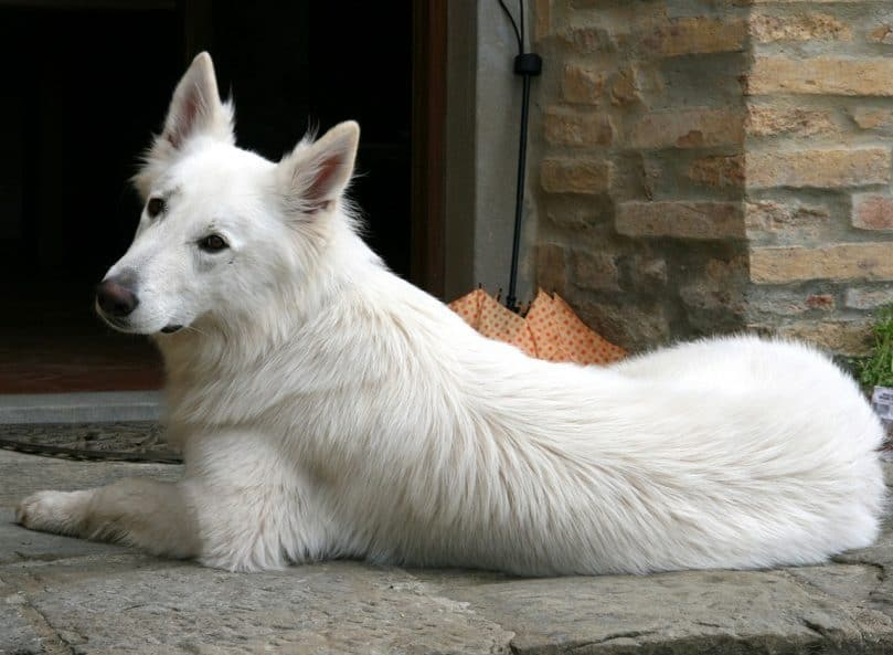 White Swiss Shepherd laying down