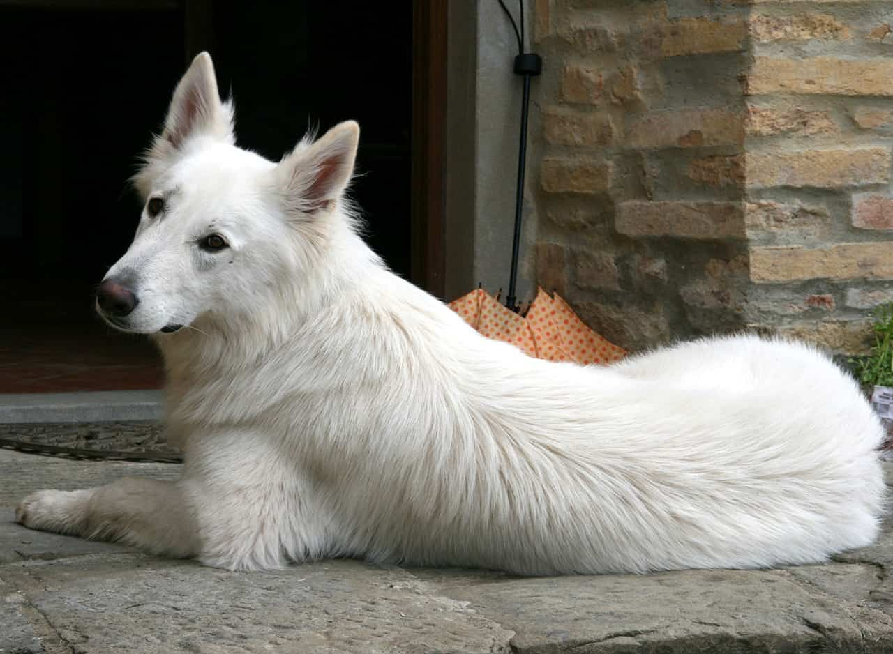 6 Facts To Know About The Beautiful White Swiss Shepherd