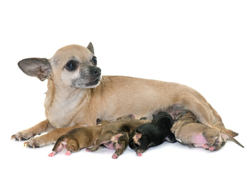 family of chihuahua on a white background