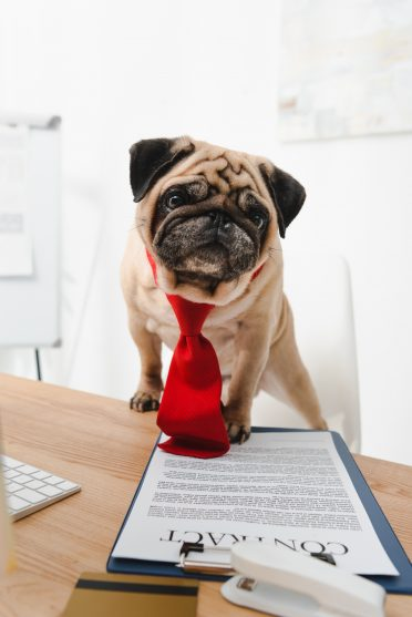 A pug wearing a tie is holding on to a contract