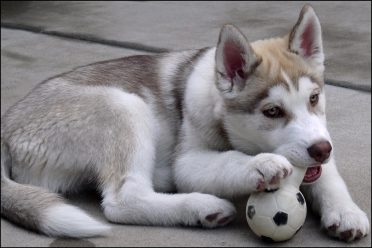 6-month-old Siberian Husky Puppy playing with a ball