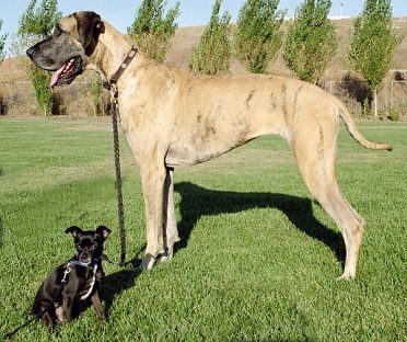 A Chihuahua and a Great Dane on the grass