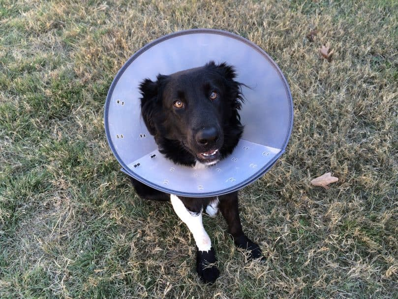"Black dog wearing the ""cone of shame"" while outside"