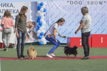 The judge inspects German Spitz in a dog show