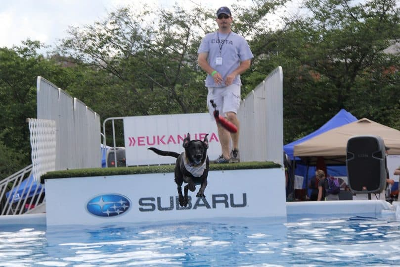 Other dog shows have diving or long jump competitions