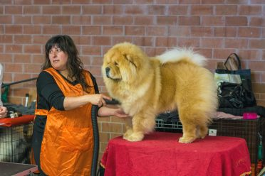 Chow Chow on a grooming table, getting ready for its time on the ring