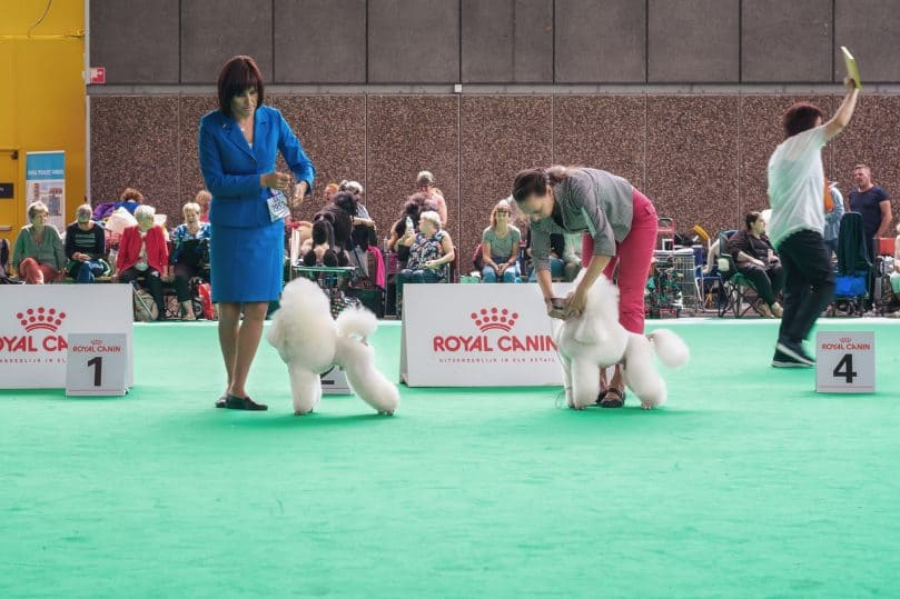 White Poodles show their tricks to the jury during the world dog show in Amsterdam