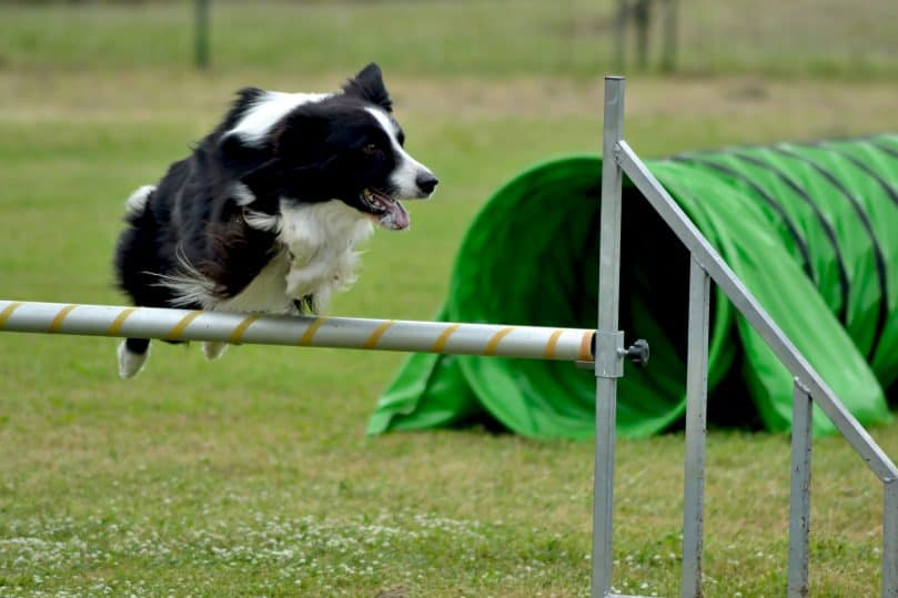 Border Collie jumping on a hurdle in a dog show's agility test