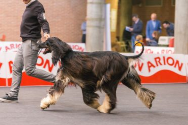 An Afghan Hound is gaiting on the left side of the handler