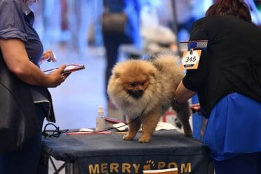 A groomed Pomeranian on a dog show platform