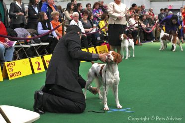 A Brittany dog in a stacking position in the Westminster Kennel Club Dog Show