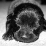 Black and white picture of a newborn puppy that is fading