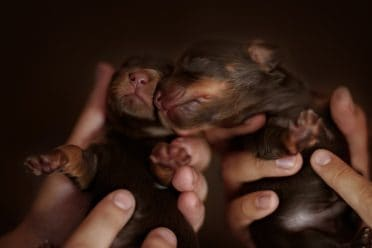 Two cute newborn puppies but one is smaller