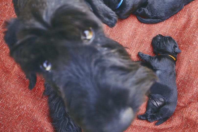 A Giant Schnauzer mother dog and her newborn with one puppy away from her