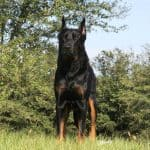 German Shepherd Doberman Mix standing in the grass