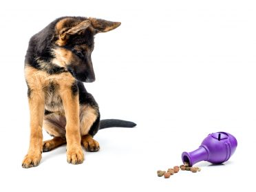 Gerrman shepherd puppy looking curiously at rubber treat release puzzle toy shot on white background
