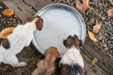 Top viewof domestic puppies drinking milk on tray