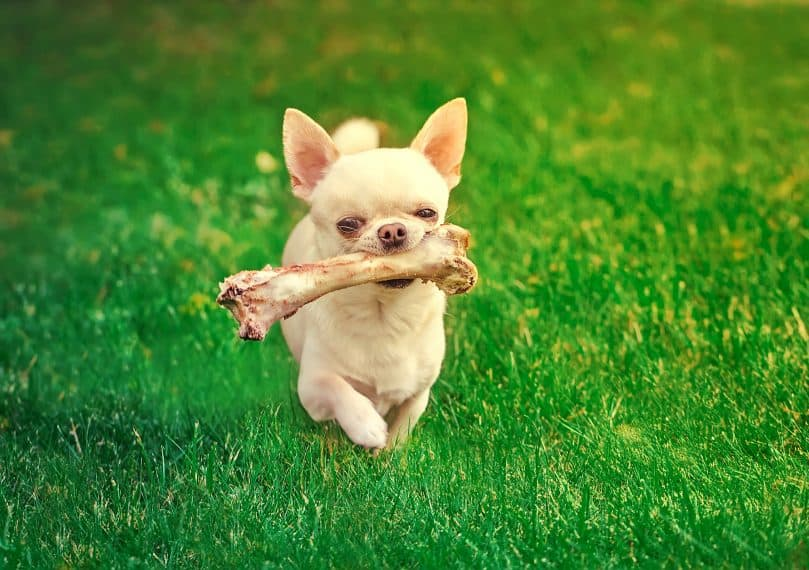 Chihuahua carrying a bone while walking on the grass
