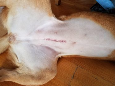 photo of a spayed dog with stitches