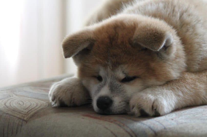 Akita Inu puppy sleeps