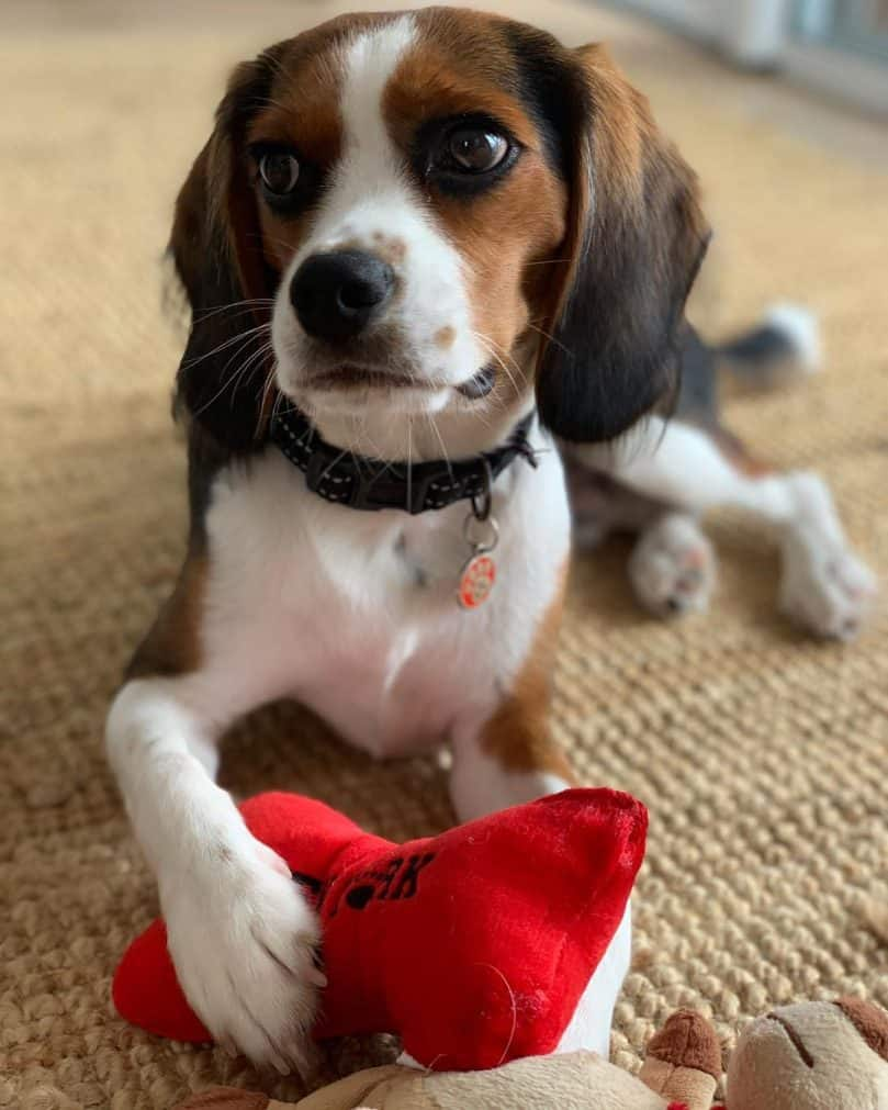 Beagle Cavalier mix with toy