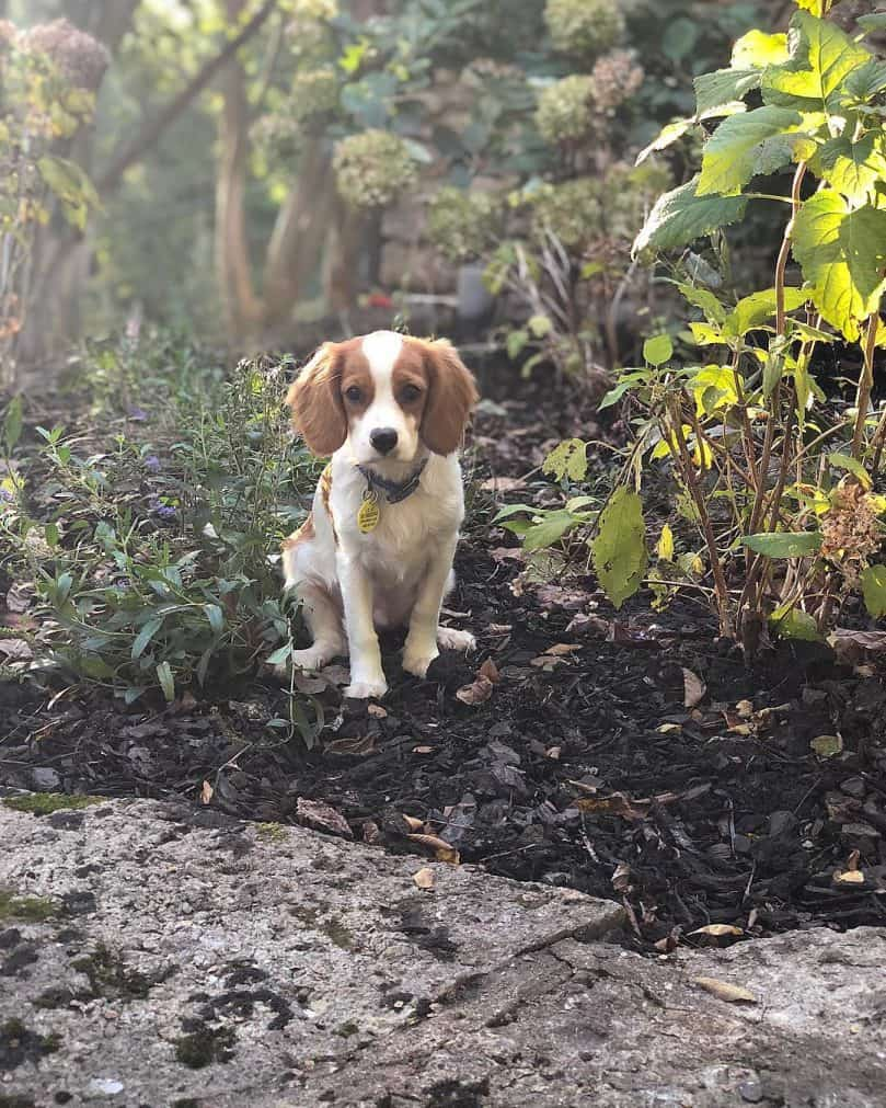 Beaglier sits in the dirt