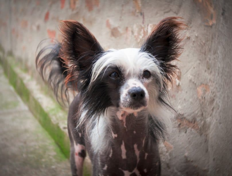 Hairless Chinese Crested dog standing outside