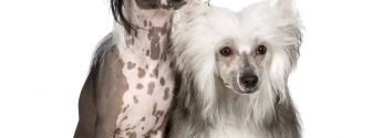 Hairless Chinese Crested and Powderpuff Chinese Crested sitting beside each other
