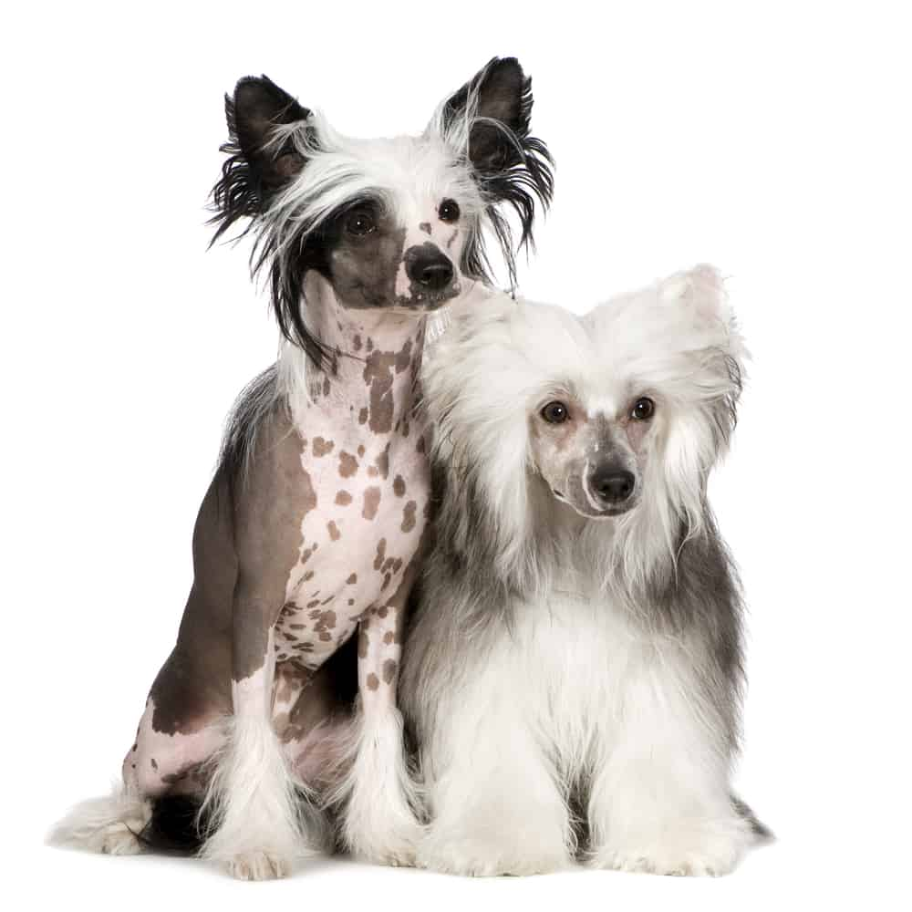 The Chinese Crested 10 Awesome Facts