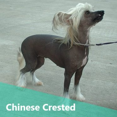 Chinese Crested also known as Crestie