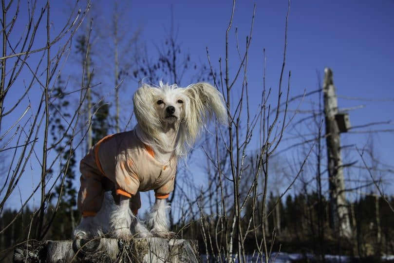 White Chinese Crested wearing a sweater outdoors