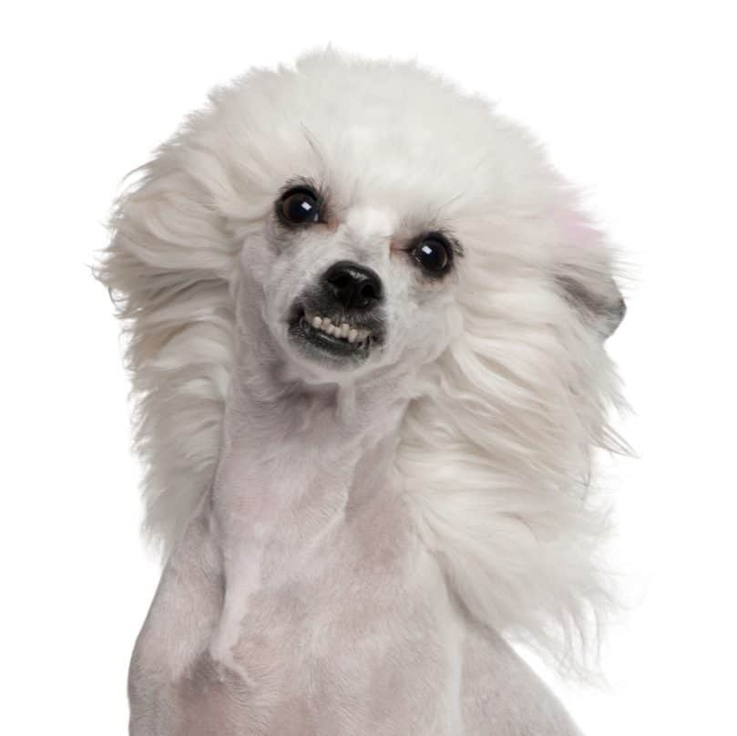 Puff Chinese Crested showing its teeth