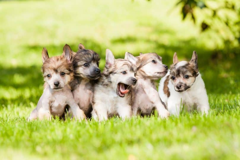 Chinese Crested Puppies standing in the grass