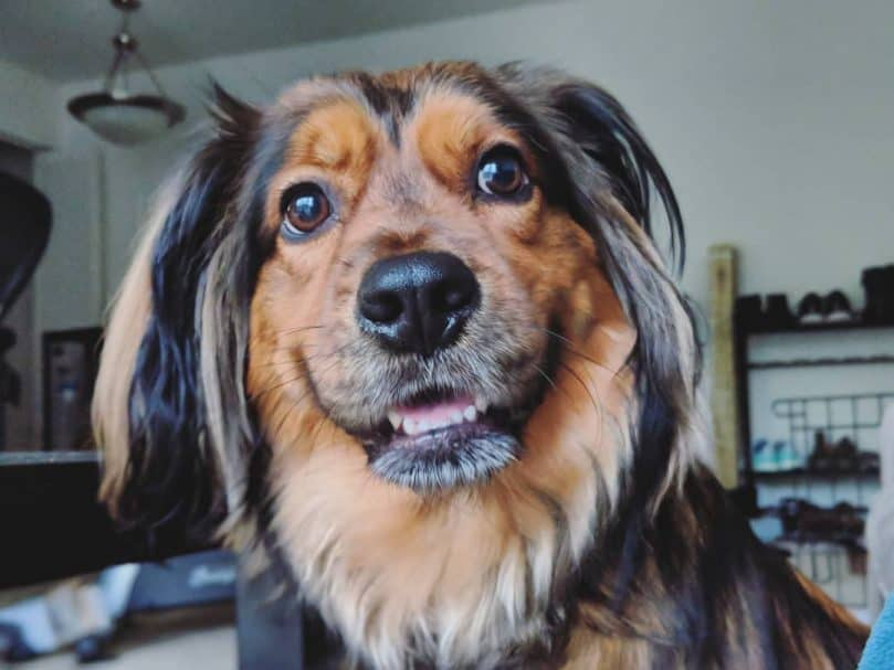 A Golden Dox smiling at the camera
