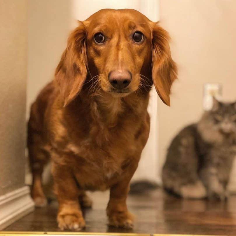 A Golden Dachshund standing indoors
